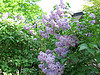 Lilacs in bloom everywhere