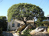 Tree on a rock in front of a house
