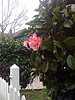 Camelia near a white picket fence