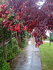 Red leaves rainy day